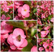 pink begonia flower plants , selective focus - stock illustration