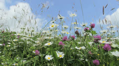 Daisy flower meadow field against blue sky with wind Stock Footage