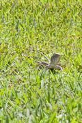 Indian garden lizard staring at the lens Stock Photos