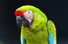green macaw - stock photo