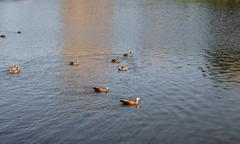 ducks on water - stock photo