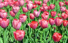 Red tulip at spring Stock Photos