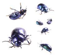 Beautiful metallic blue beetle ,beetle agelastica alni Stock Illustration