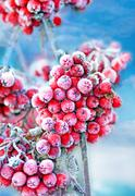 frozen rowan berries - stock photo