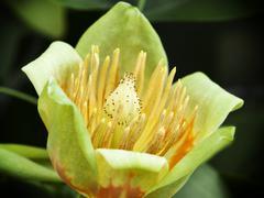 American tulip tree (liriodendron tulipifera) Stock Photos