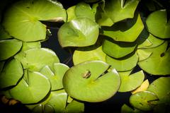 Green leaves of water lily and frog Stock Photos