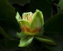 American tulip tree (liriodendron tulipifera) in blossom Stock Photos