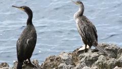 Two cormorans pan Stock Footage