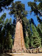 the general sherman is a giant sequoia tree - stock photo