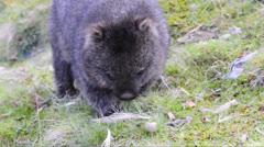 Wombat Stock Footage