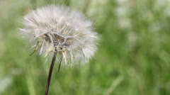 White dandelion in a green grass - stock footage