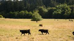 Cows in Farm Pasture - stock footage