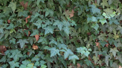 Ivy Wall in Light Breeze Stock Footage
