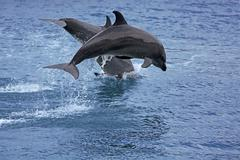 Stock Photo of Bottlenose Dolphin