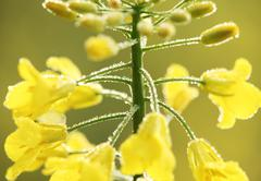 Oilseed rape close-up Stock Photos