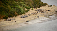 Elephant Seals at Point Reyes California - stock footage