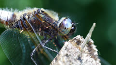 Broad-bodied Chaser - super macro Stock Footage