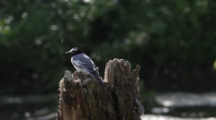 Song wagtails Stock Footage