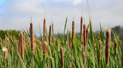 Marsh of Reeds Point Reyes California - stock footage