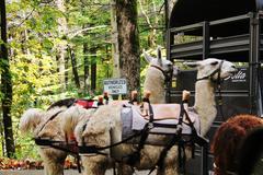 Llamas in saddle - stock photo