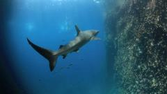 Black tip reef shark and snorkelers underwater Stock Footage