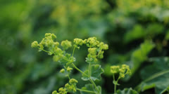 Alchemilla mollis Closeup moing by the Wind Stock Footage