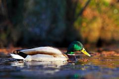 Female mallard duck in water Stock Photos