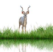 Kudu with green grass isolated Stock Photos