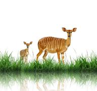 Nyala with green grass isolated Stock Photos
