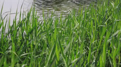 Reed wind swaying in the pond Stock Footage