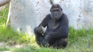 Stock Video Footage of Gorilla Plays with Dirt