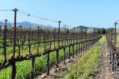 Grapevines in a row in napa valley california Stock Photos