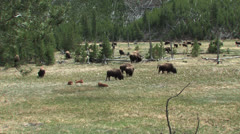 Herd of Yellowstone Buffalo Stock Footage