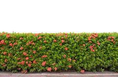 shrub fence isolated on white background - stock photo