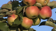Stock Video Footage of Red apples in the tree