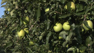 Stock Video Footage of Green apples