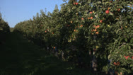 Stock Video Footage of Apple orchard