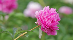 Flower  of  chrysanthemum Stock Footage