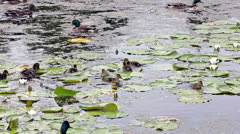 Stock Video Footage of Ducks  searching  for  food  in  a  pond