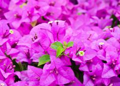 Purple bougainvillea flower Stock Photos