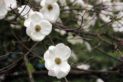 unknown flowering tree with big white  flowers - stock photo
