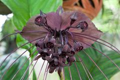Bat flower Stock Photos
