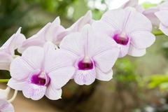 White dendrobium orchid flower Stock Photos