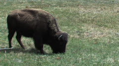 Single Buffalo grazing in Yellowstone - stock footage