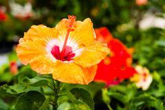 Stock Photo of beautiful hibiscus
