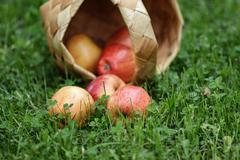 birchbark basket full of gala apples - stock photo