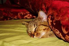 Portrait sleeping tabby - stock photo