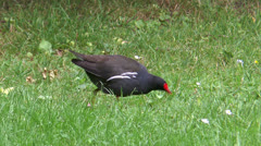 Common Moorhen (gallinula chloropus) picking for food in grass closeup - stock footage