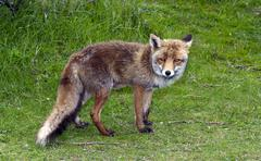 wild red fox - stock photo