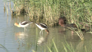 Stock Video Footage of American Avocet